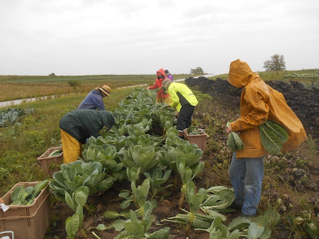 Wet_Collard_Harvest